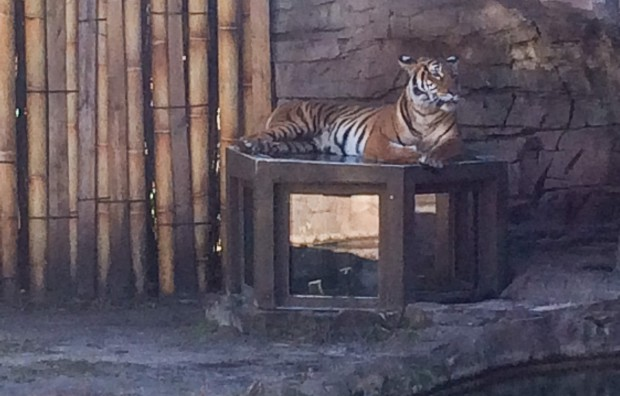 Mamma tiger sitting atop the pop up viewing box.