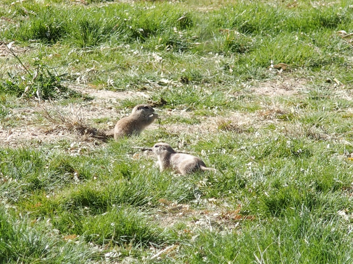 The Prairie Dogs were out in force this week.