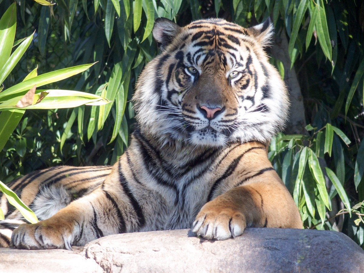 One of the Sumatran Tigers keeping an eye on us...