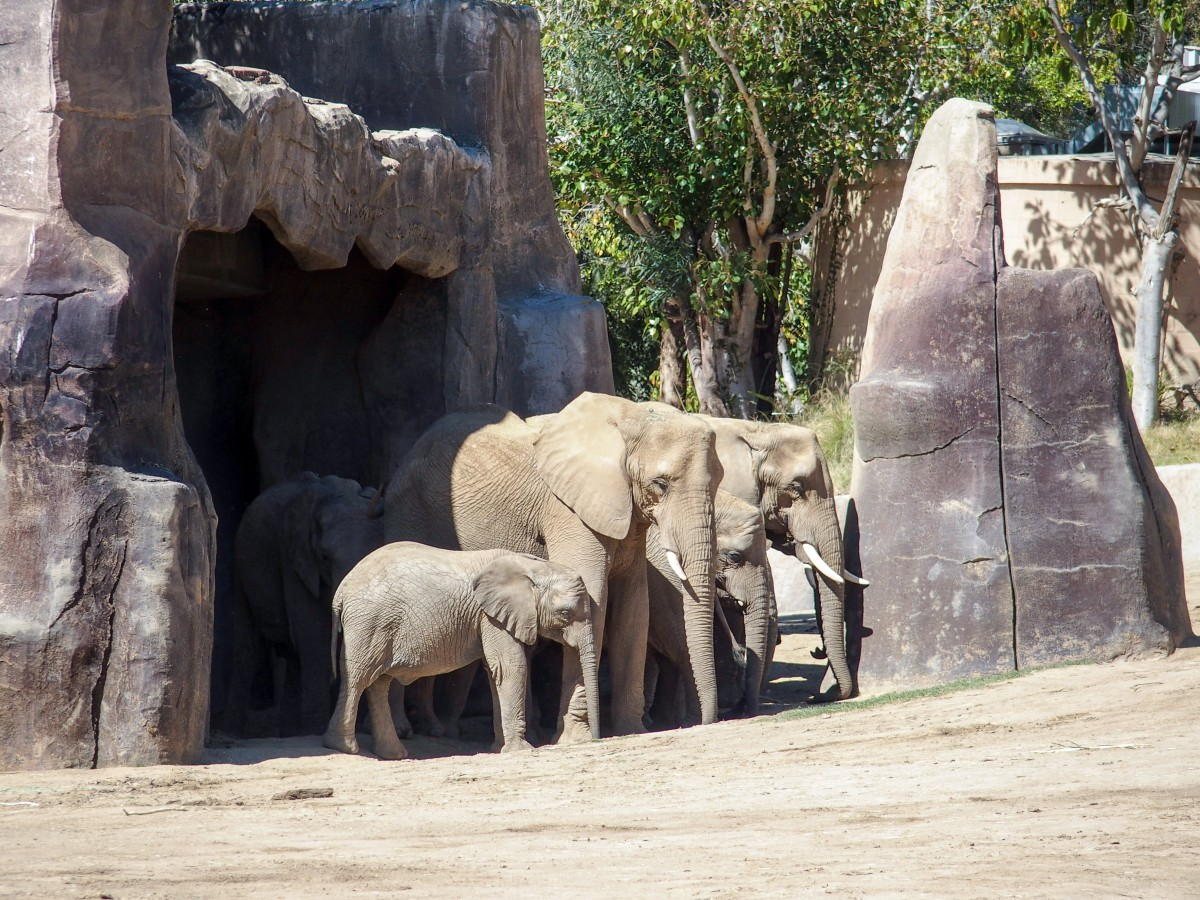 The Zoo has been successfully breeding African Elephants and sending some to other zoos.