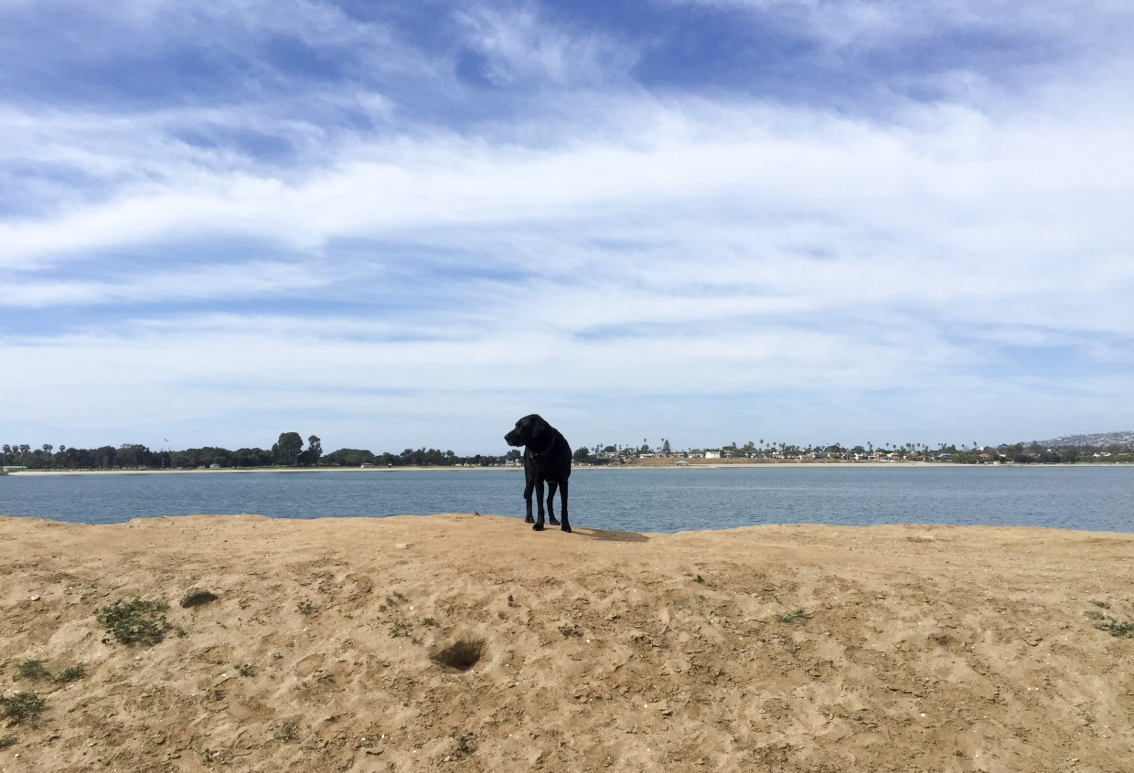 Opie exploring at the Fiesta Island dog park.