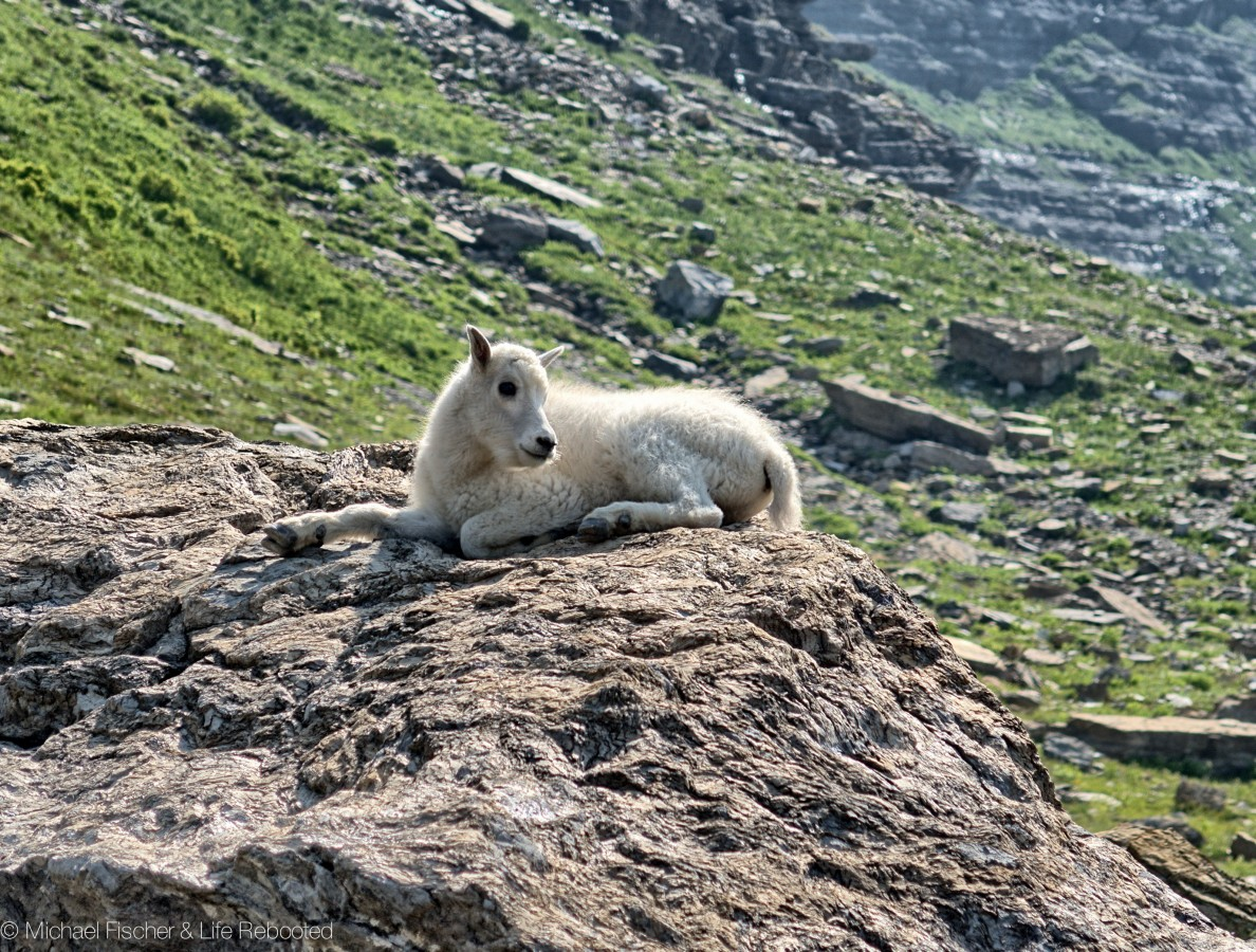 Mountain Goat kid hanging out on a rock, enjoying the view
