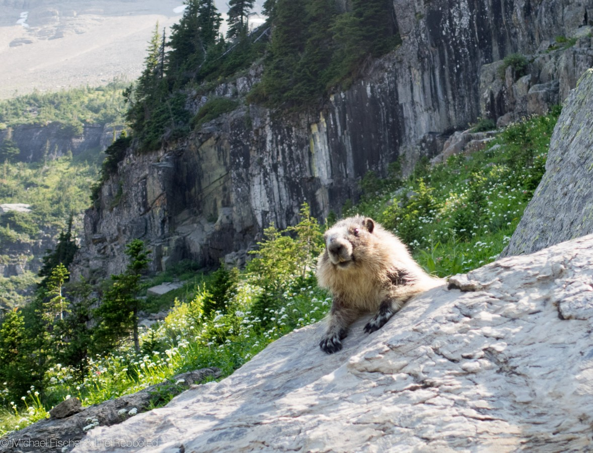 Hoary marmot relaxing in the sun
